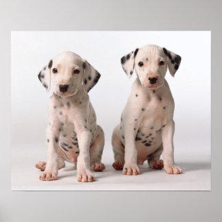 2匹の小さい白黒Dalmatian子犬 ポスター