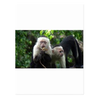 2匹の白い顔のCapuchin猿 ポストカード
