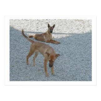 2 Carolina_Dogs.png ポストカード