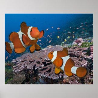 2 Clownfish ポスター
