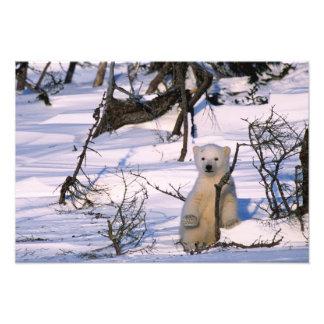 3か月の古い北極に)立つことはでbearcoyごしごし洗います アート写真