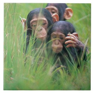 3匹の若いチンパンジー(鍋のtroglodytes) タイル