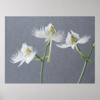 3本の白い白鷺の蘭 ポスター
