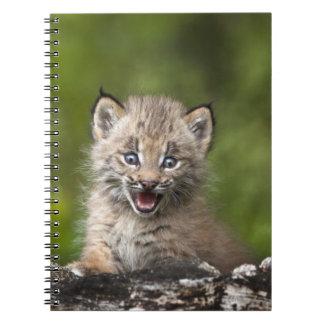 Aに見ているベビーのオオヤマネコ(オオヤマネコCanadensis) ノートブック
