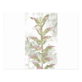 Acanthusの木の花トムWurl.jpg ポストカード