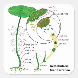 Acetabularia Mediterraneaのライフサイクルの図表 スクエアシール