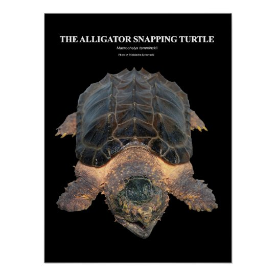 Alligator snapping turtle のポスター ポスター