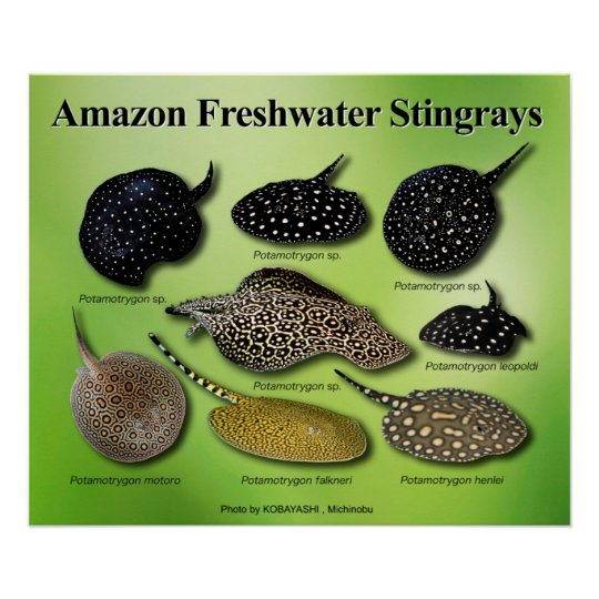 Amazon Freshwater Stingrays ポスター