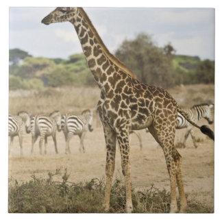 Amboseli NPのマサイ族のキリンそして共通シマウマ、 タイル
