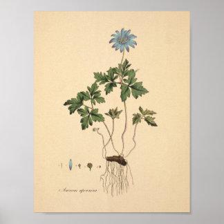 Apennineのアネモネのヴィンテージの花柄 ポスター