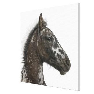 Appaloosaとa間の雑種の子馬 キャンバスプリント