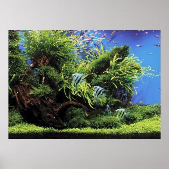 Aquarium of Freshwater Angelfish ポスター