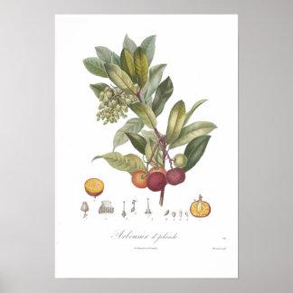 Arbutusのunedo-Stawberry木 ポスター