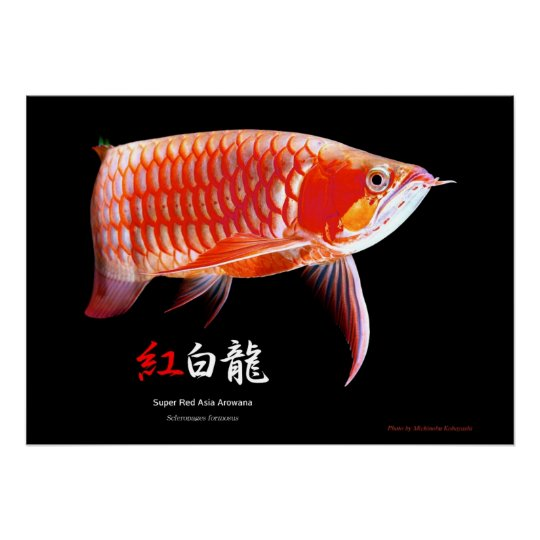 Asian Arowana(Red Type) ポスター