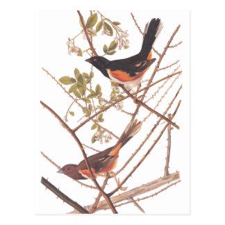 Audubonの黒いおよびオレンジ歌の鳥をバントするTowee ポストカード
