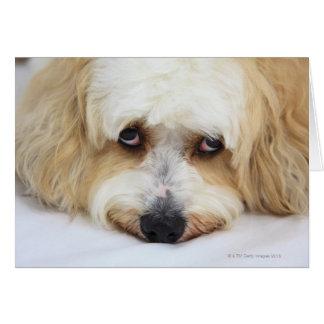 bichonのfrise犬のユーモアのあるなクローズアップ カード