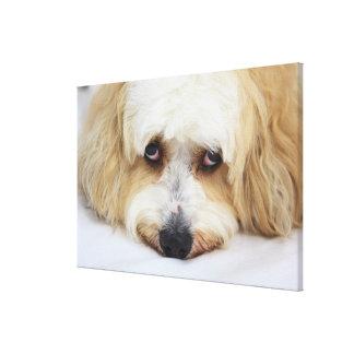 bichonのfrise犬のユーモアのあるなクローズアップ キャンバスプリント