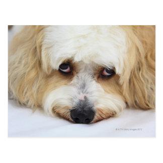 bichonのfrise犬のユーモアのあるなクローズアップ ポストカード