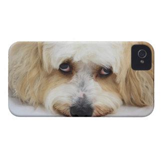 bichonのfrise犬のユーモアのあるなクローズアップ Case-Mate iPhone 4 ケース