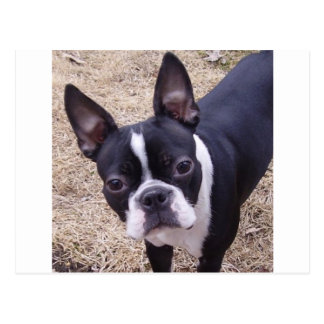 bostonterrier_freeman ポストカード