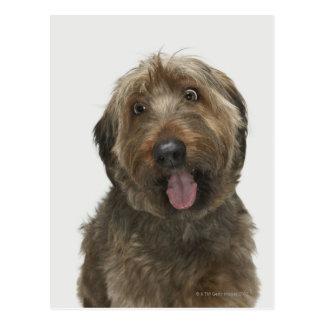Briard犬のポートレート ポストカード
