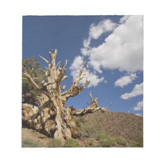 Bristleconeの古代森林のBristleconeマツ、 ノートパッド
