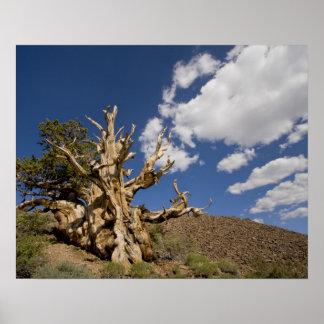 Bristleconeの古代森林のBristleconeマツ、 ポスター