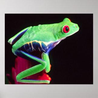 Bromeliadの赤い目Treefrog、Agalychinis ポスター