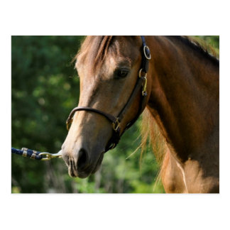 Buckskinのモーガンの馬 ポストカード