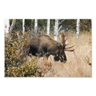 Bullのアメリカヘラジカを牧草を食べること フォトプリント