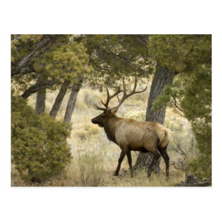Bullのオオシカ、イエローストーン国立公園、ワイオミング、 ポストカード