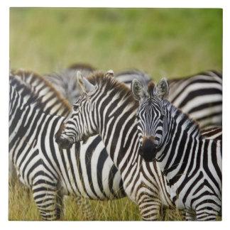 Burchelliのシマウマ、Equusのburchellii、マサイ語マラ、2 タイル