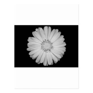 calendula-flower--black-and-white-laura-melis.jpg ポストカード