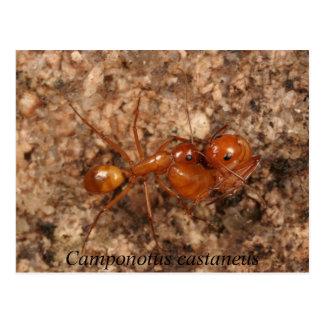 Camponotusのcastaneus ポストカード