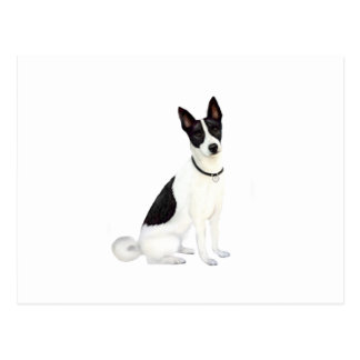 Canaan犬(a) ポストカード