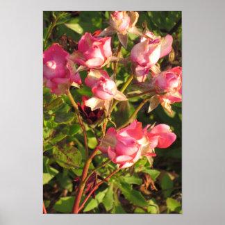 Candianの野生の庭は花の黄色いピンクのバラを駐車します ポスター