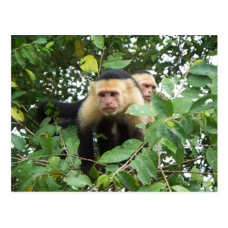 Capuchin猿 ポストカード