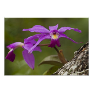Cattleyaの蘭のCattleyaのすみれ色のviolacea) ポスター