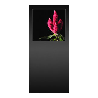 Celosiaカラカス。 Cockscombs。 ピンクの花 ラックカード