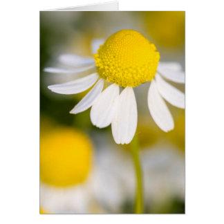 Chamomileの花のクローズアップ、ハンガリー カード