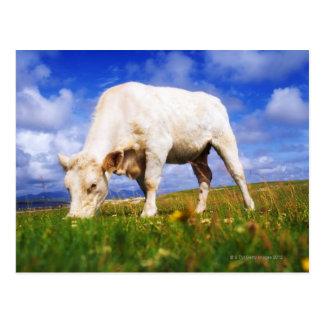 CharolaisはのMannin湾、アイルランド牧草を食べを脅かします ポストカード