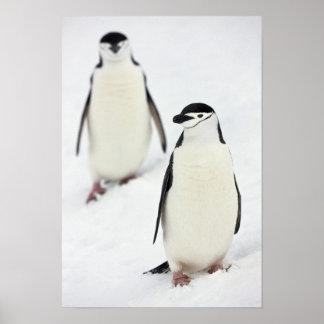 ChinstrapのペンギンのPygoscelisのantarcticus)、 ポスター