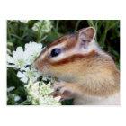 Chipmunk photo (30-19) ポストカード