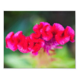 Cilosiaの頭状花の上 フォトプリント