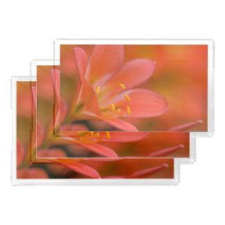 Cliviaのかわいらしく赤い花 アクリルトレー