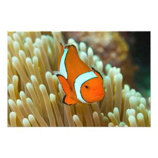 Clownfishかわいいグレート・バリア・リーフの珊瑚海 フォトプリント