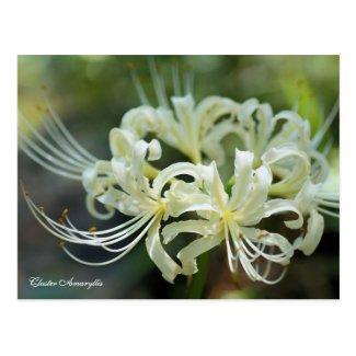 Cluster Amaryllis[Postcard] ポストカード