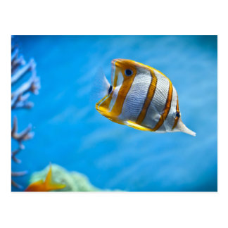 Copperbandのbutterflyfish ポストカード