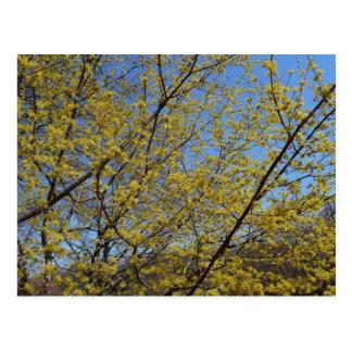 Cornelianさくらんぼのミズキおよび青空の花柄 ポストカード