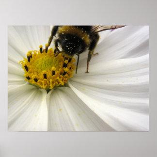 Cosmea (白い) ポスター